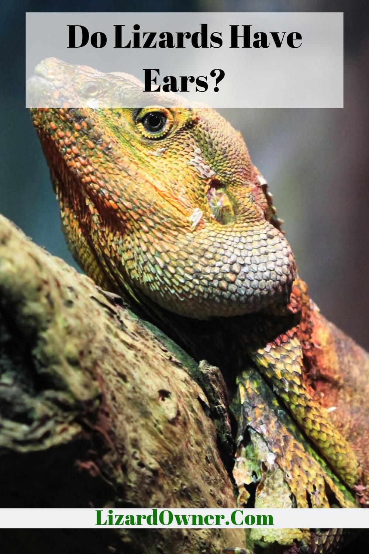 Do Lizards Have Ears Lizard Lizard Species Ear