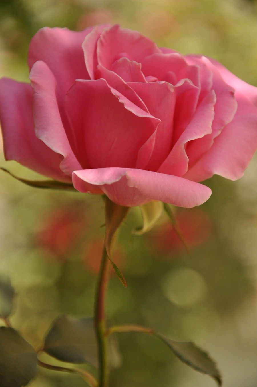 The 20 Most Beautiful Flowers In The World Rosas Lindas Flores
