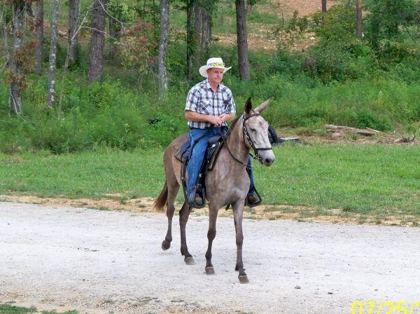 GAITED GREY MULE - $2500 (ELIZABETHTOWN) Paso fino mule, 5yrs - craigslist el paso