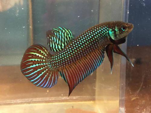 Betta mahachai male wild betta fish beautiful betta fish for Wild betta fish