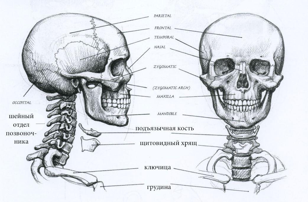 картинка черепа с костями строение задержан