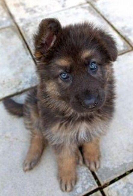 German Shepherd Strong And Loyal Perros Perros Bonitos
