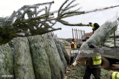 Workers Carry Fir Trees At A Christmas Tree Farm In Planchez In Planchez Workers Carry Fir Trees At A Christmas Tree Farm With Images Christmas Tree Farm Tree Farms