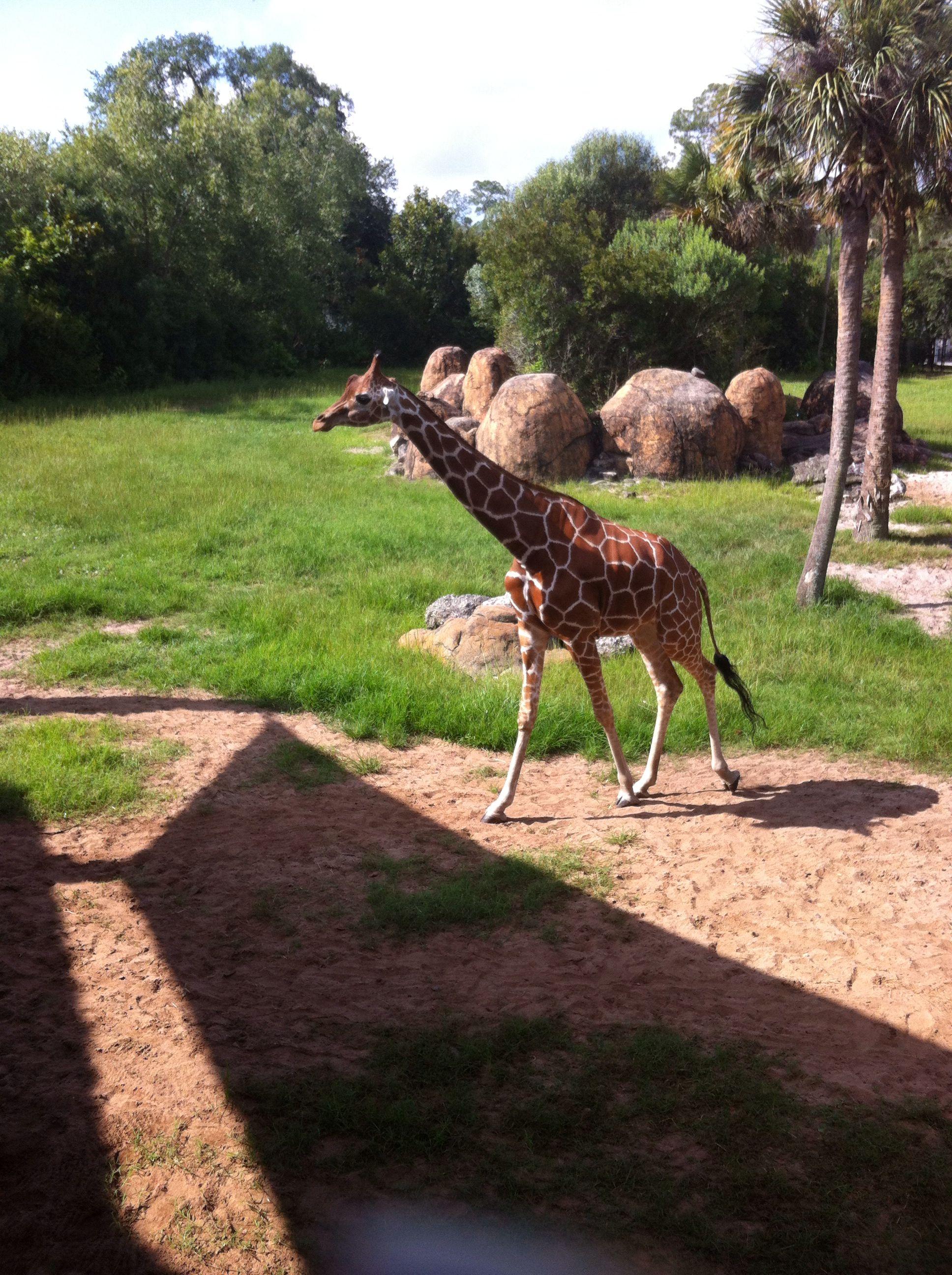 Giraffe At Jacksonville Zoo Animals Pinterest Giraffe Zoos  # Muebles Pagolin