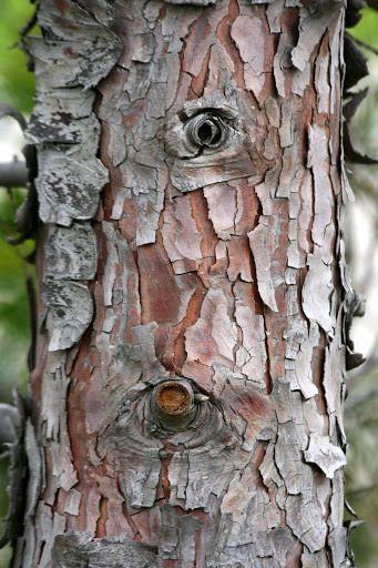 Tree Watching Project Rosemary S Blog Tree Bark Texture Tree Unique Trees