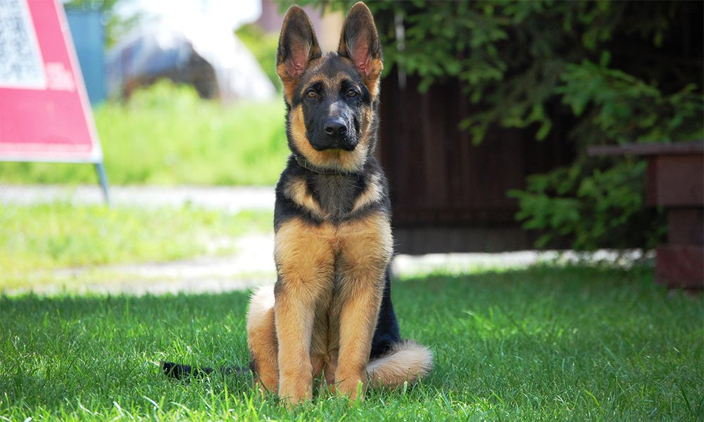 German Shepherd Dog Breed Information Growth And Sale German
