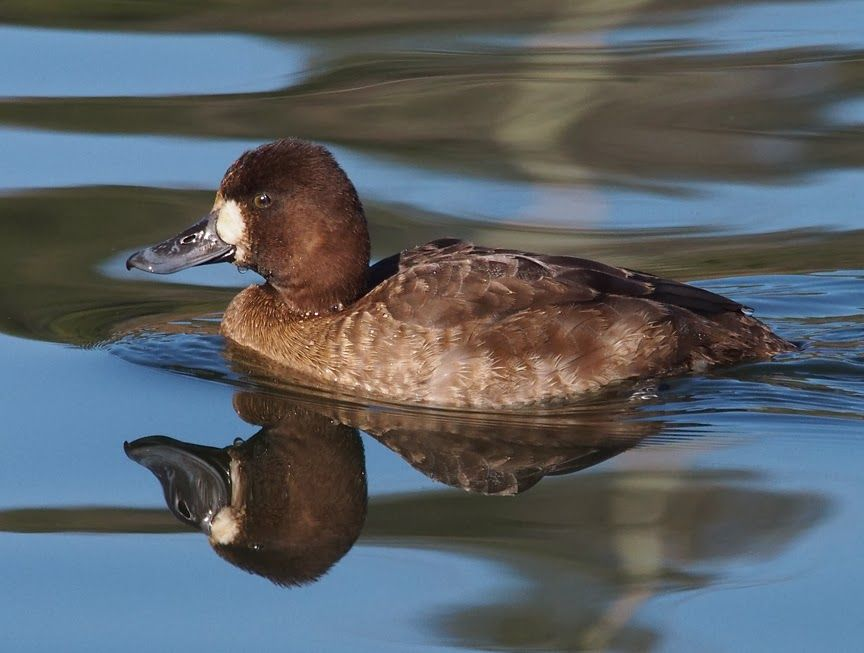 Birds I'm Watching: Scaup at Lake Ralphine (With images ...
