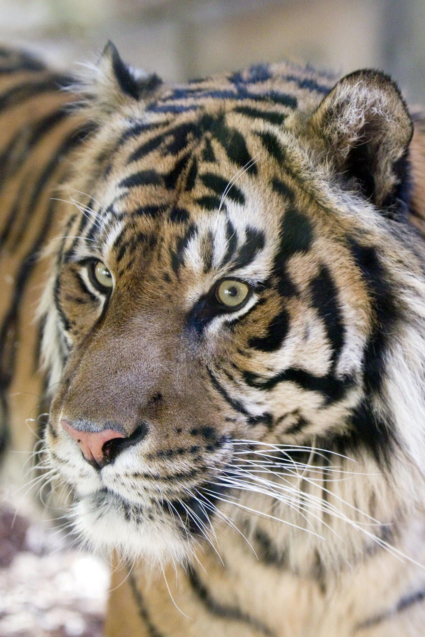 tiger portrait by Erika A B on 500px Tiger, Wild cat