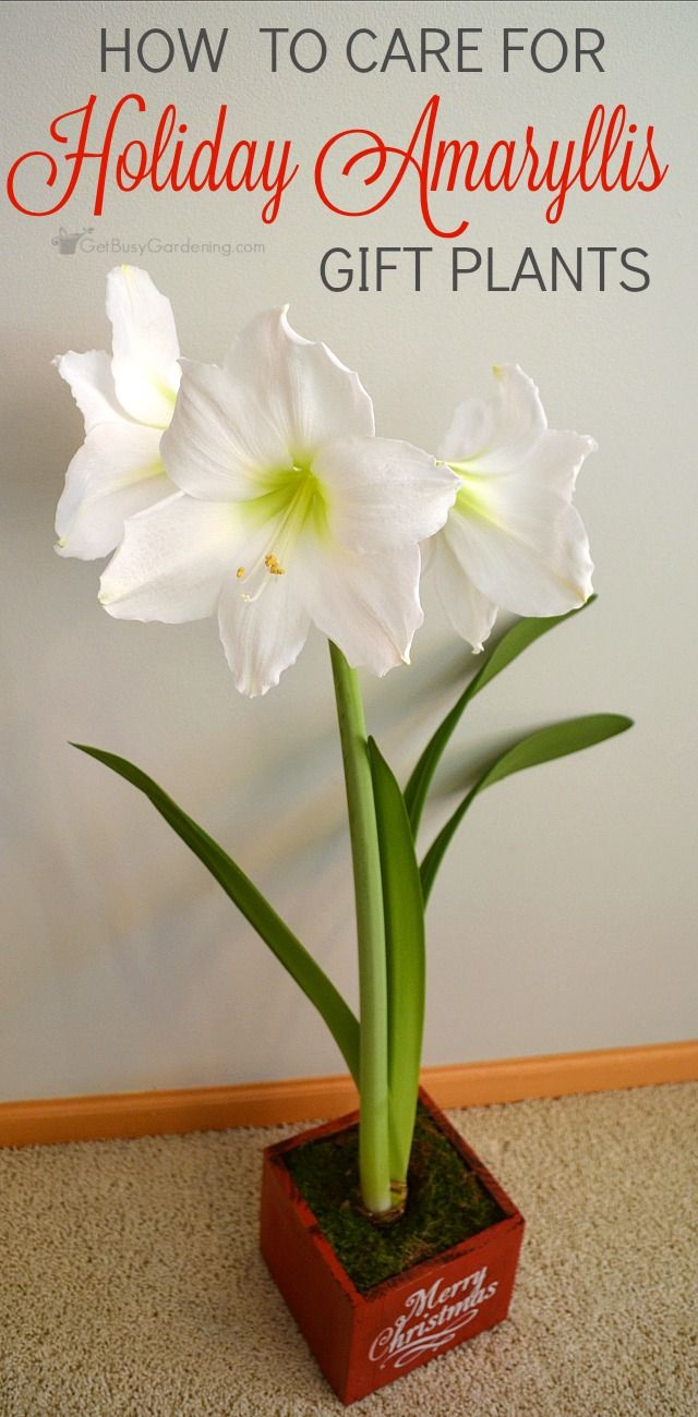 How To Care For Holiday Amaryllis Gift Plants Amaryllis Plant Plant Gifts Flower Care