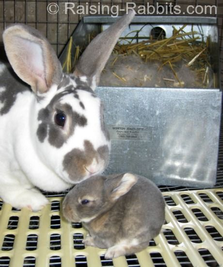 Care Of Baby Rabbits Taking Care Of Rabbits To Age 2 Weeks Rabbit Breeds Pregnant Rabbit Baby Bunnies