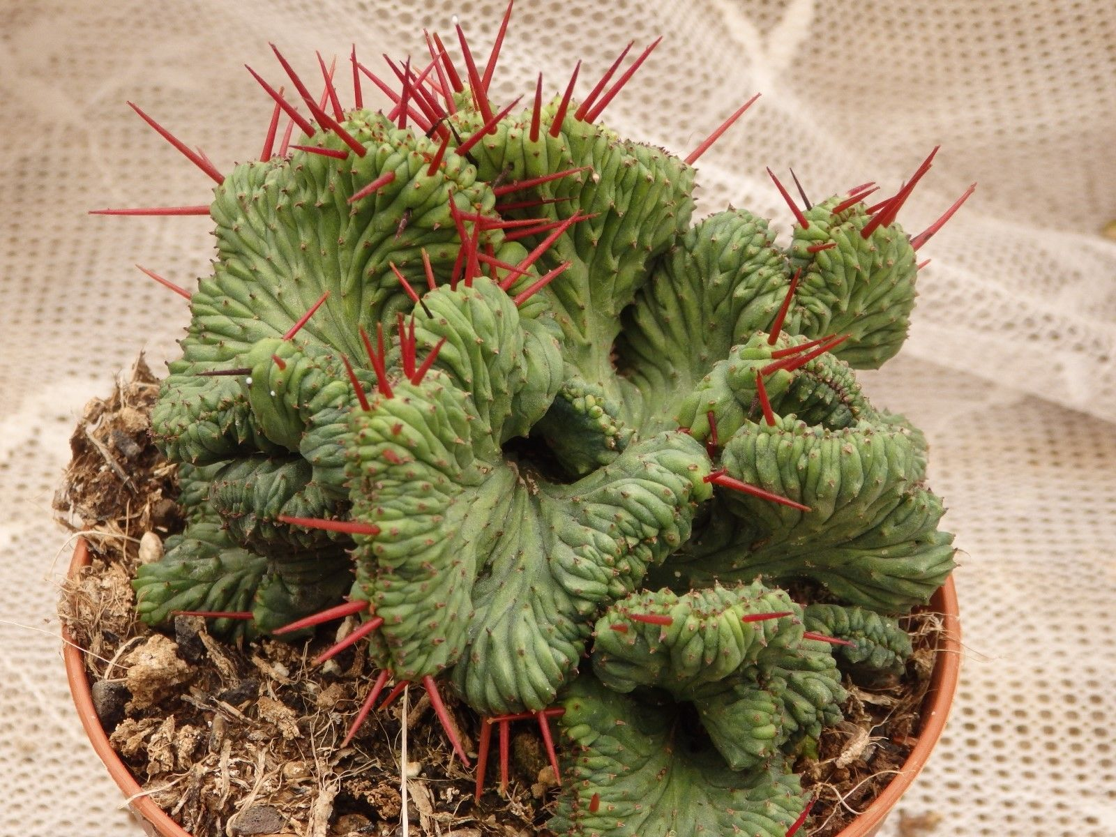 euphorbia enopla cristata ebay succulents pinterest cactus jardins et fleurs. Black Bedroom Furniture Sets. Home Design Ideas