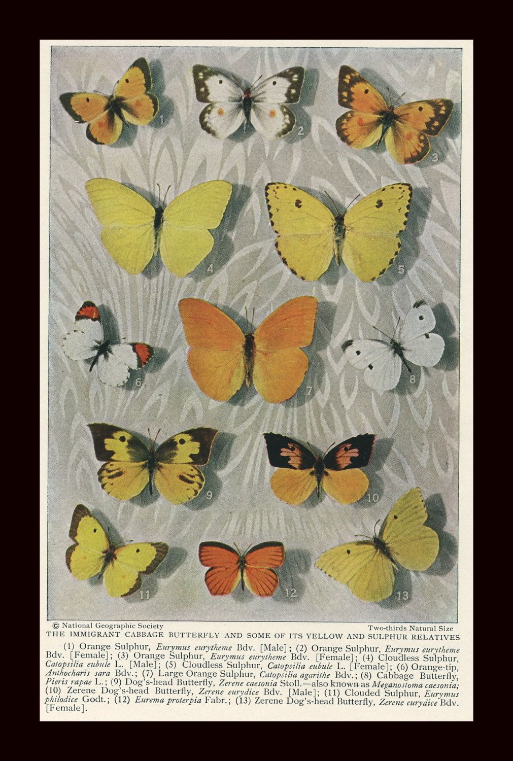 Immigrant Cabbage Butterfly & Some Of Its Yellow and Sulphur Relatives: Original 1927 Magazine Plate