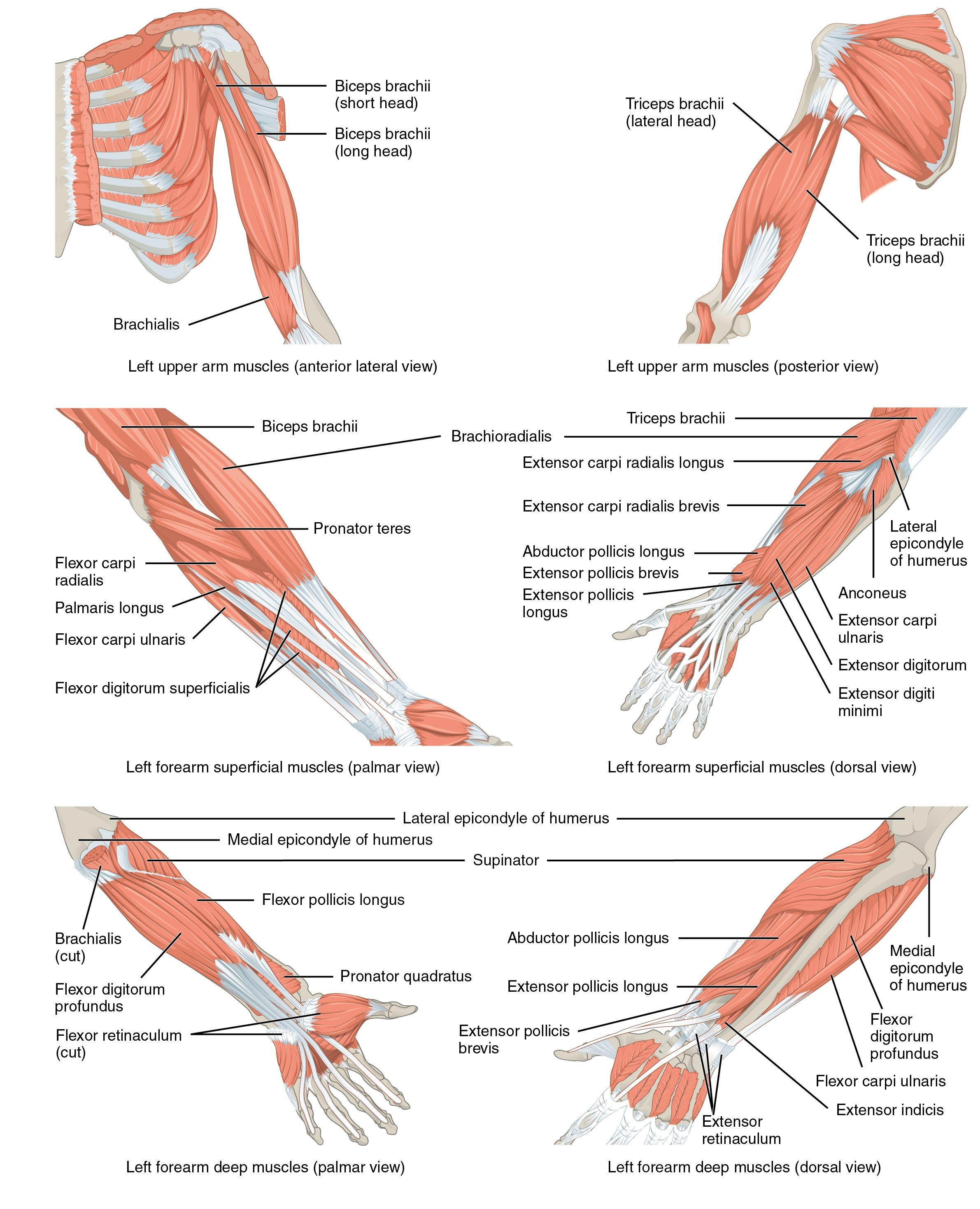 Arm Muscle And Bone Muscles Of The Pectoral Girdle And Upper Limbs