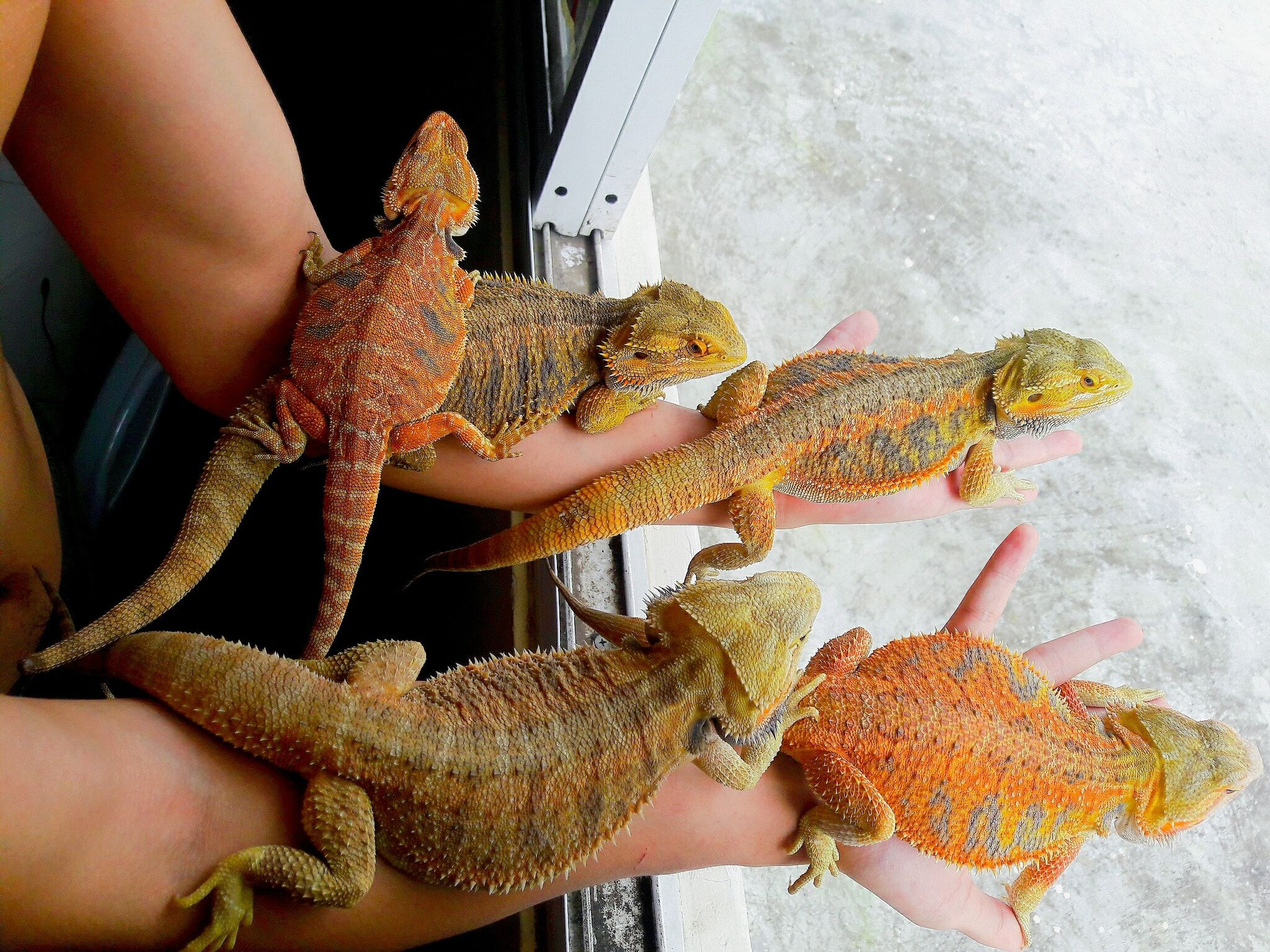 Letting All My Bearded Dragon Outside In 2020 Bearded Dragon Bearded Dragon Funny Bearded Dragon Habitat