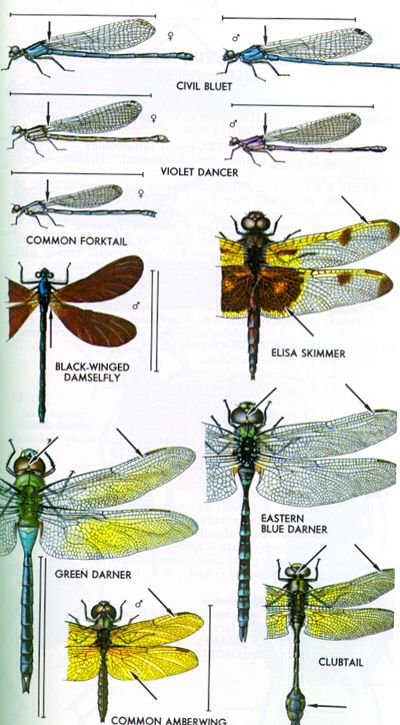 Dragonflies Eye Diagram Auto Transfer Switch Wiring The Odonata Order Includes: Damselflies And Dragonflies. At Rest, Hold Their Wings ...