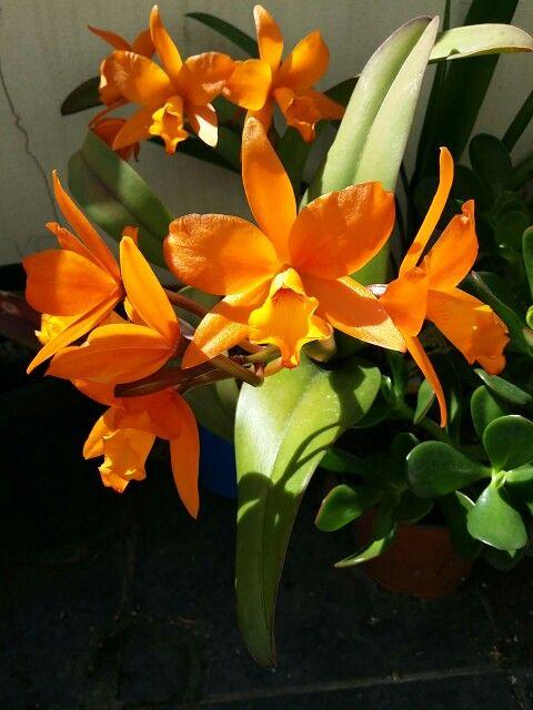 Orange cattleya orchids