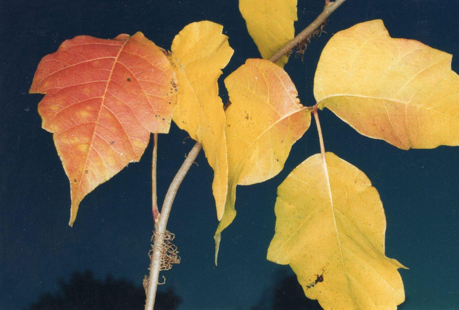 https://flic.kr/p/LZtuAf | Poison ivy in the autumn | 최신 최고로 좋은 실용적 육아 정보 소아 청소년…