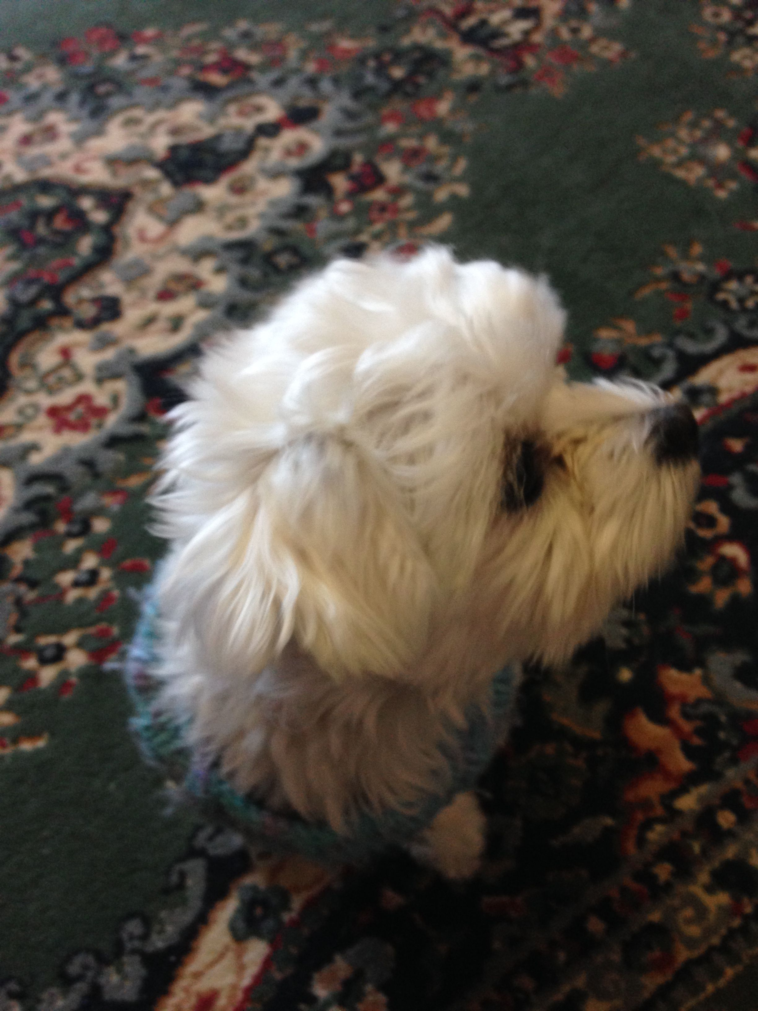 Pin By Paula Riddlebaugh On Teacup Maltese Puppies Dogs Animals