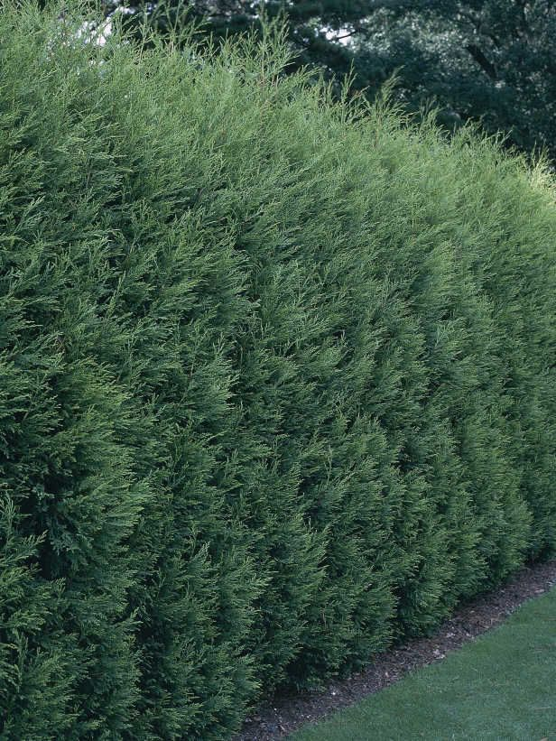 Planting Leland Cypress Fast Growing Widely Used For Screens Instant Privacy