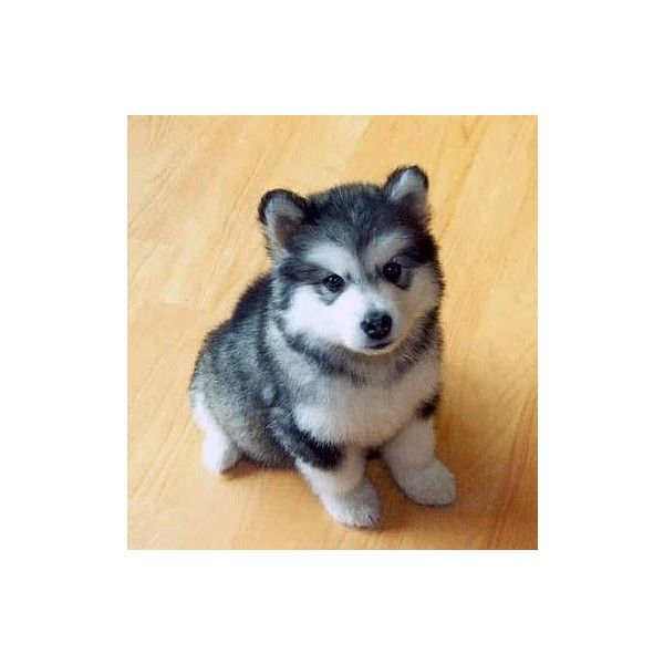 Pomeranian Husky The Pomsky Cutest Designer Dog Ever