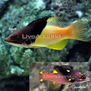 Coral Hogfish Hogfish Fish Pet Hunting Fishing