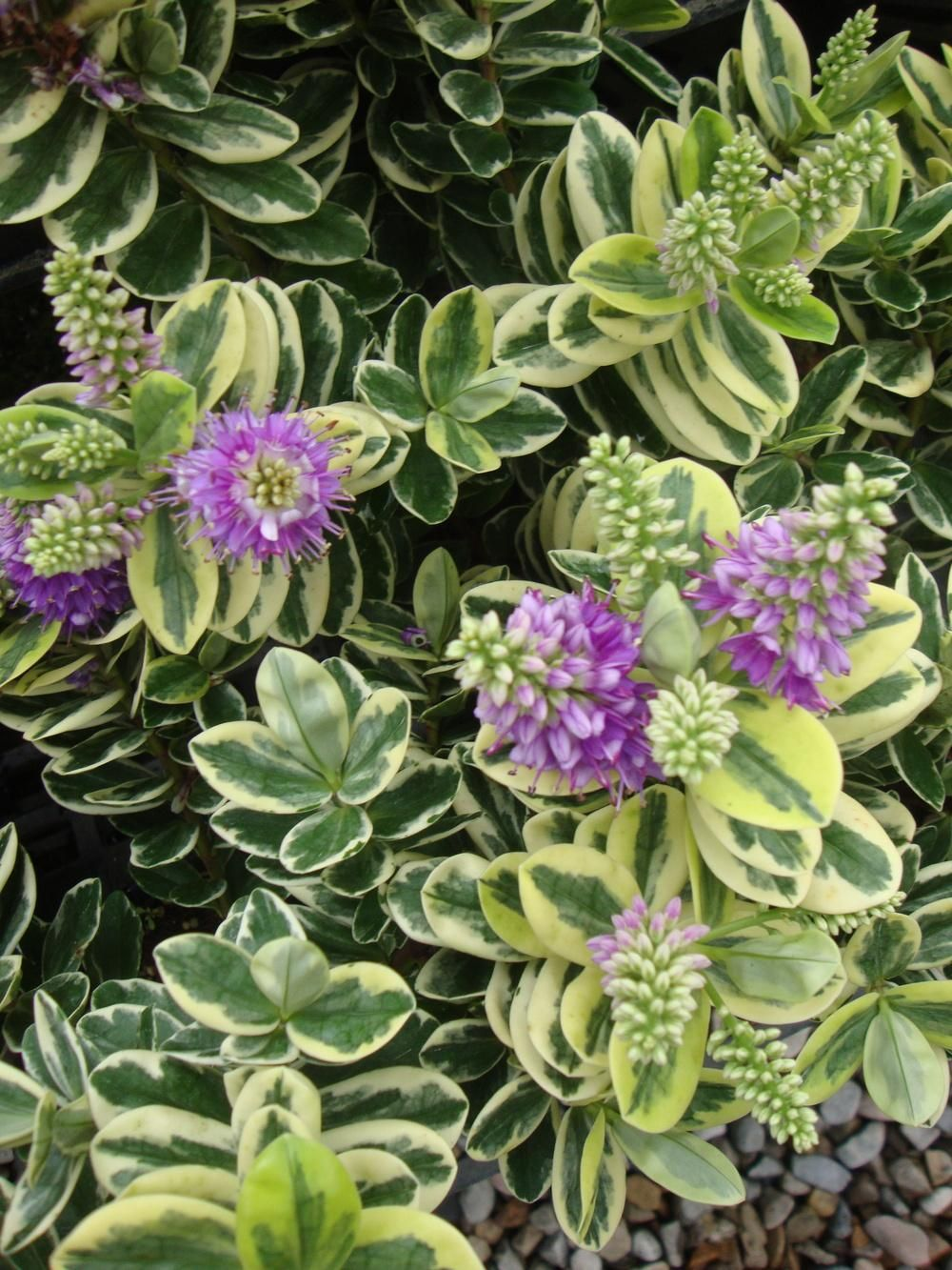 Photo of Photo of the entire plant of Hebe (Veronica x franciscana 'Variegata')