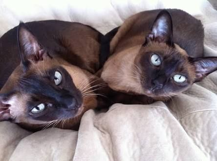 Cosmicpaws Tonkinese Burmese Home Facebook