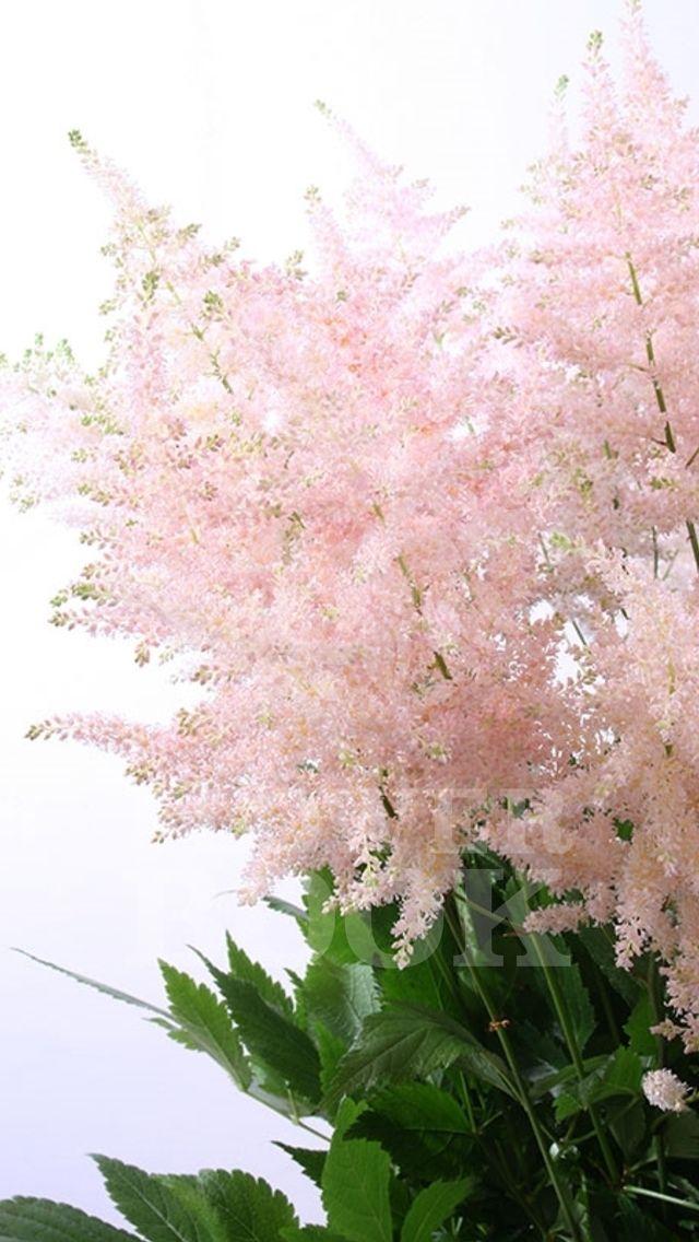 Astilbe Europa At Flowerbook App Planting Flowers Beautiful Flowers Flowers