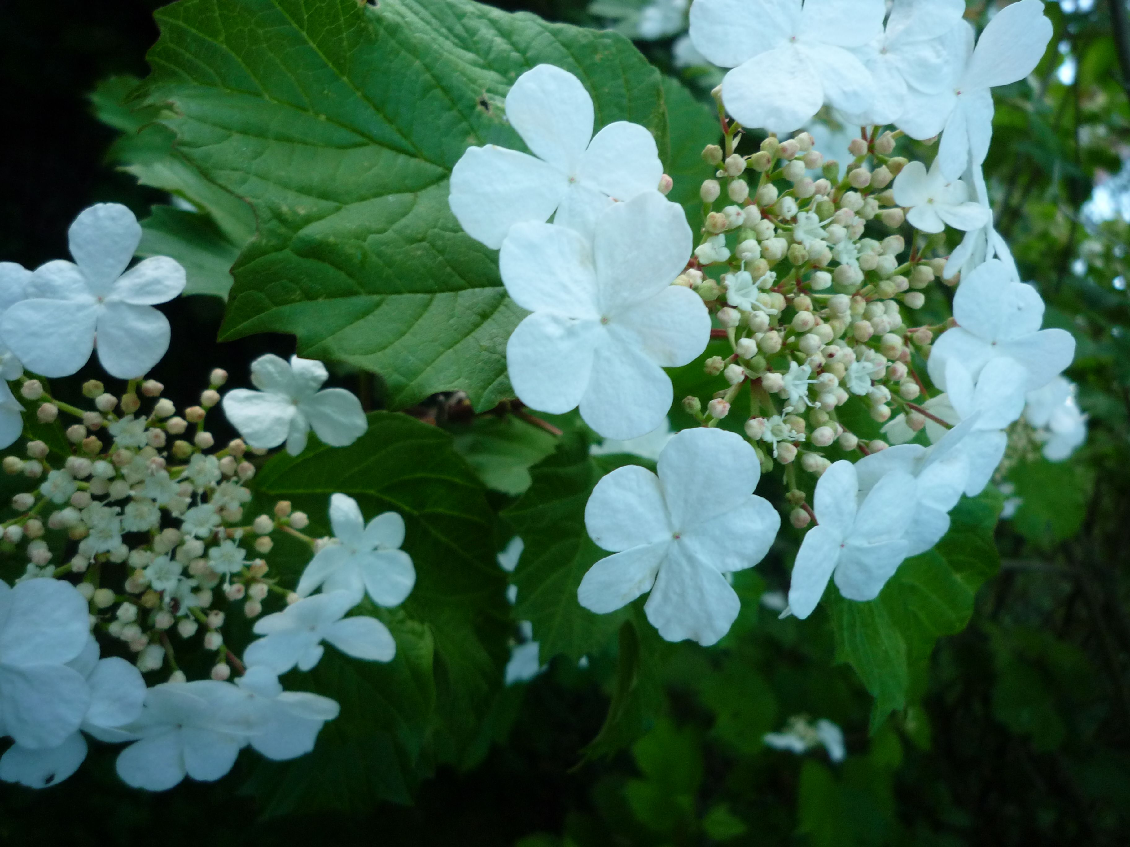 Guelder Rose not a rose at all, but a member of the Viburnum family with lovely clusters of creamy white flowers