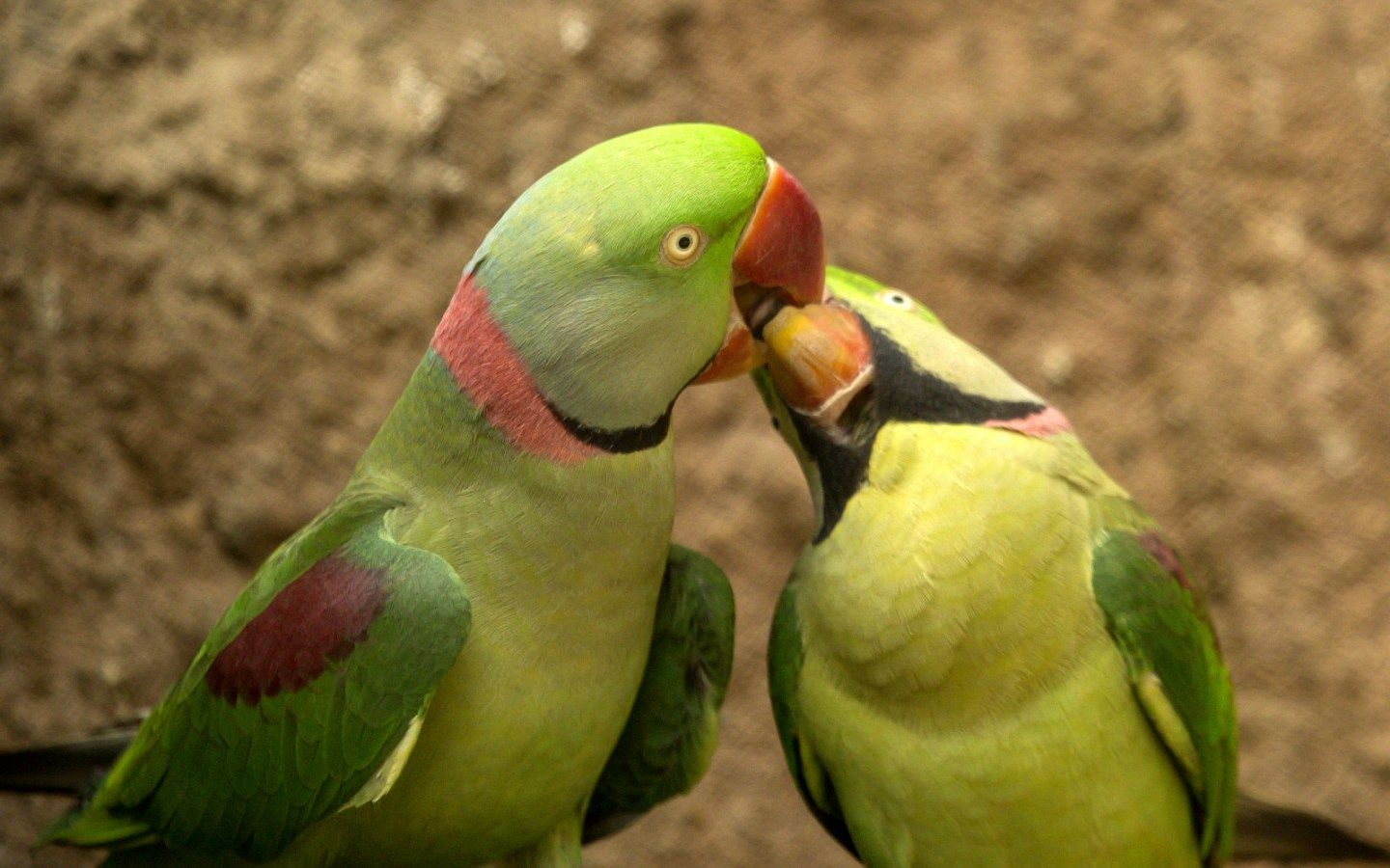Parrot Birds Zoo Wildlife Photography Hd Wallpaper And Background Images Digital Art Photography Selling Paintings Love Couple Wallpaper