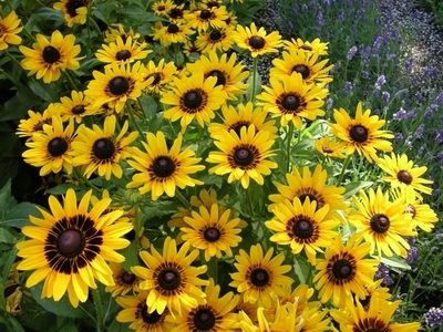 DENVER DAISY™ (Rudbeckia) is perfectly suited for Colorado's arid climate. It thrives in hot, sunny areas with minimal moisture and quickly develops large, eye-catching golden flowers with a deep-red rim encircling a dark brown center.