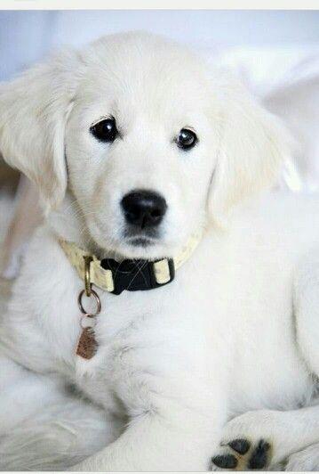 Cute Puppy White Golden Retriever Puppy Retriever Puppy Dogs And Puppies