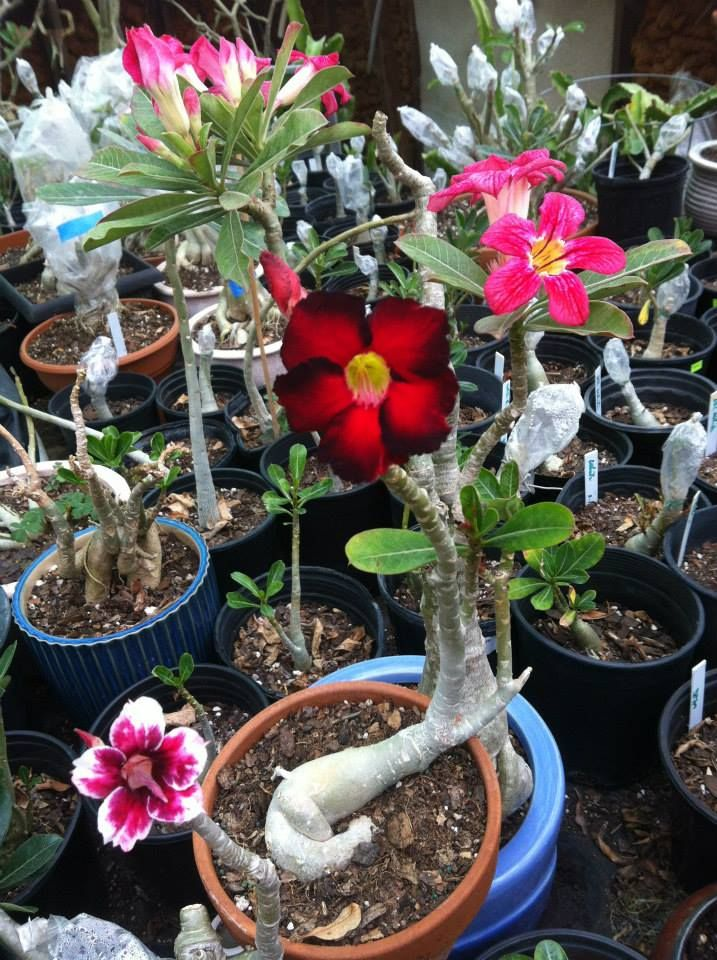 Awesome Colors Texas Guava Check Them Out On Facebook Adenium Desert Rose Rose