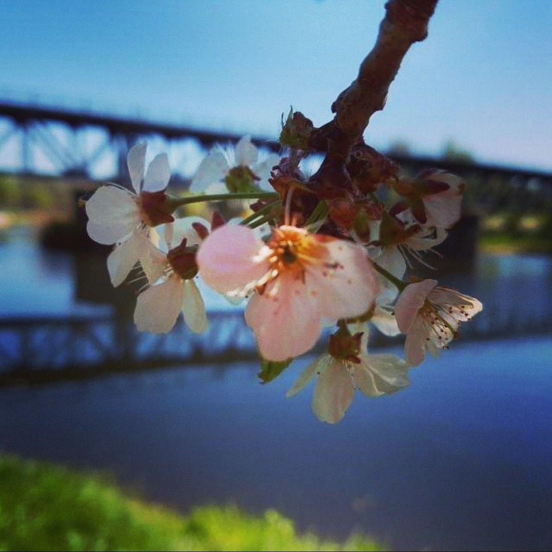 Kirschblute Kirschbluten Rochlitz Unternehmungen