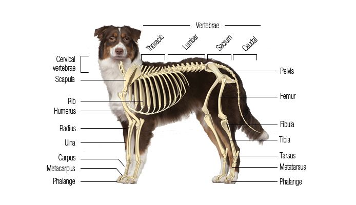 In Addition To Providing Structure The Canine Skeletal System