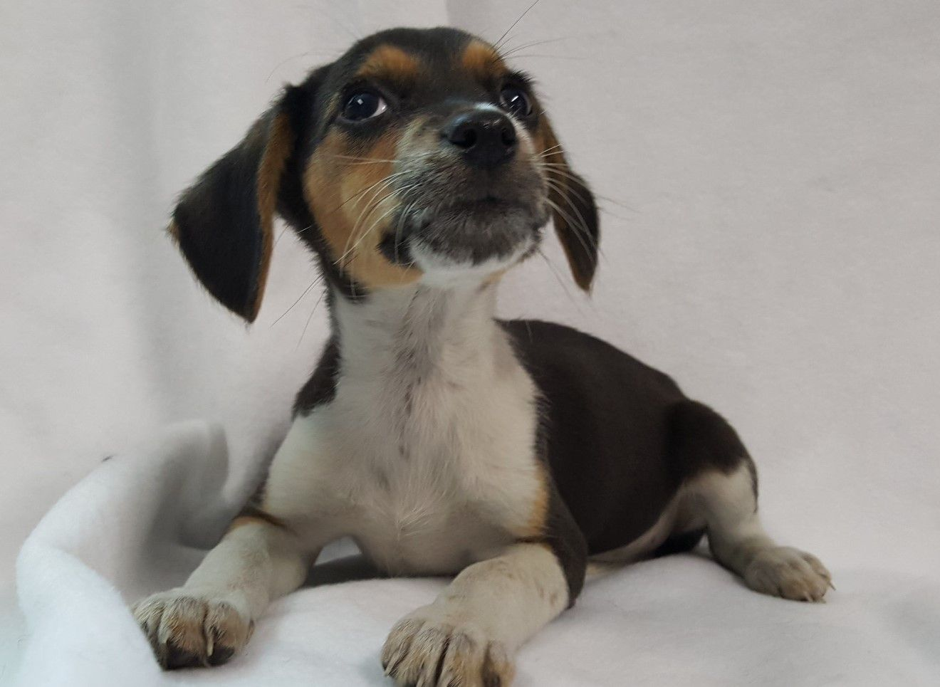 Toy Rat Doxie Dog For Adoption In Chicago Il Adn 490343 On