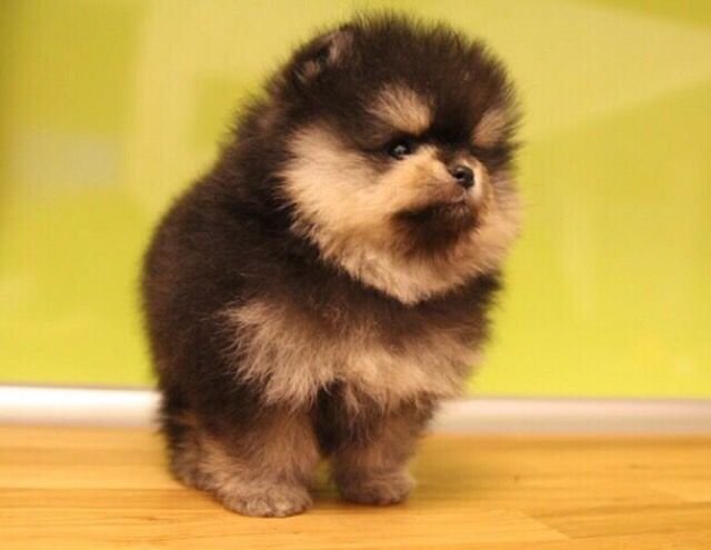 Pomeranian Puppies For Sale Get Pics And Price On Pomeranian Puppy For Sale Cute Pomeranian Puppies