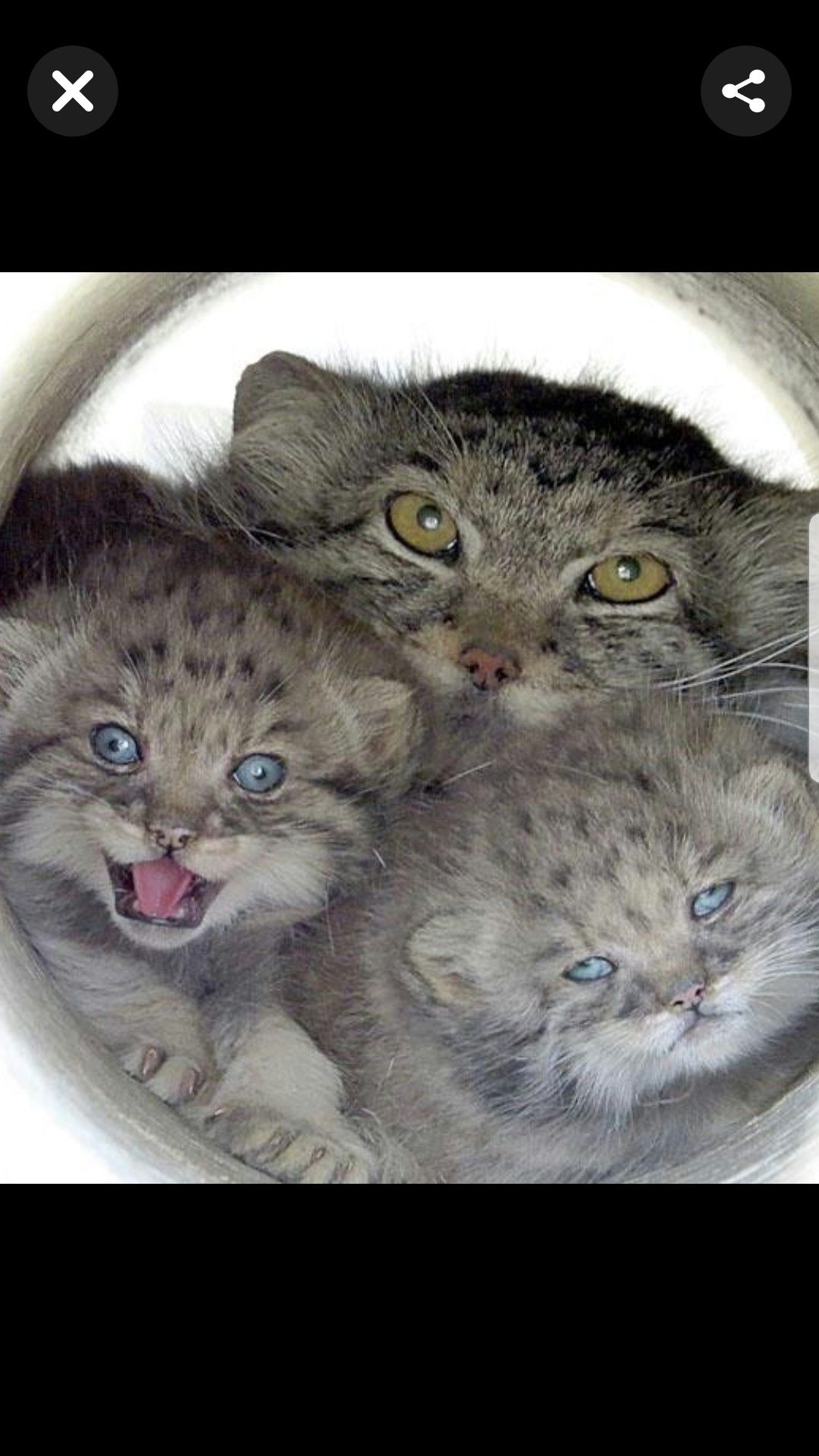 Pallas Mom And Her Pups Happy Cat Cute Animals Funny Cat Pictures