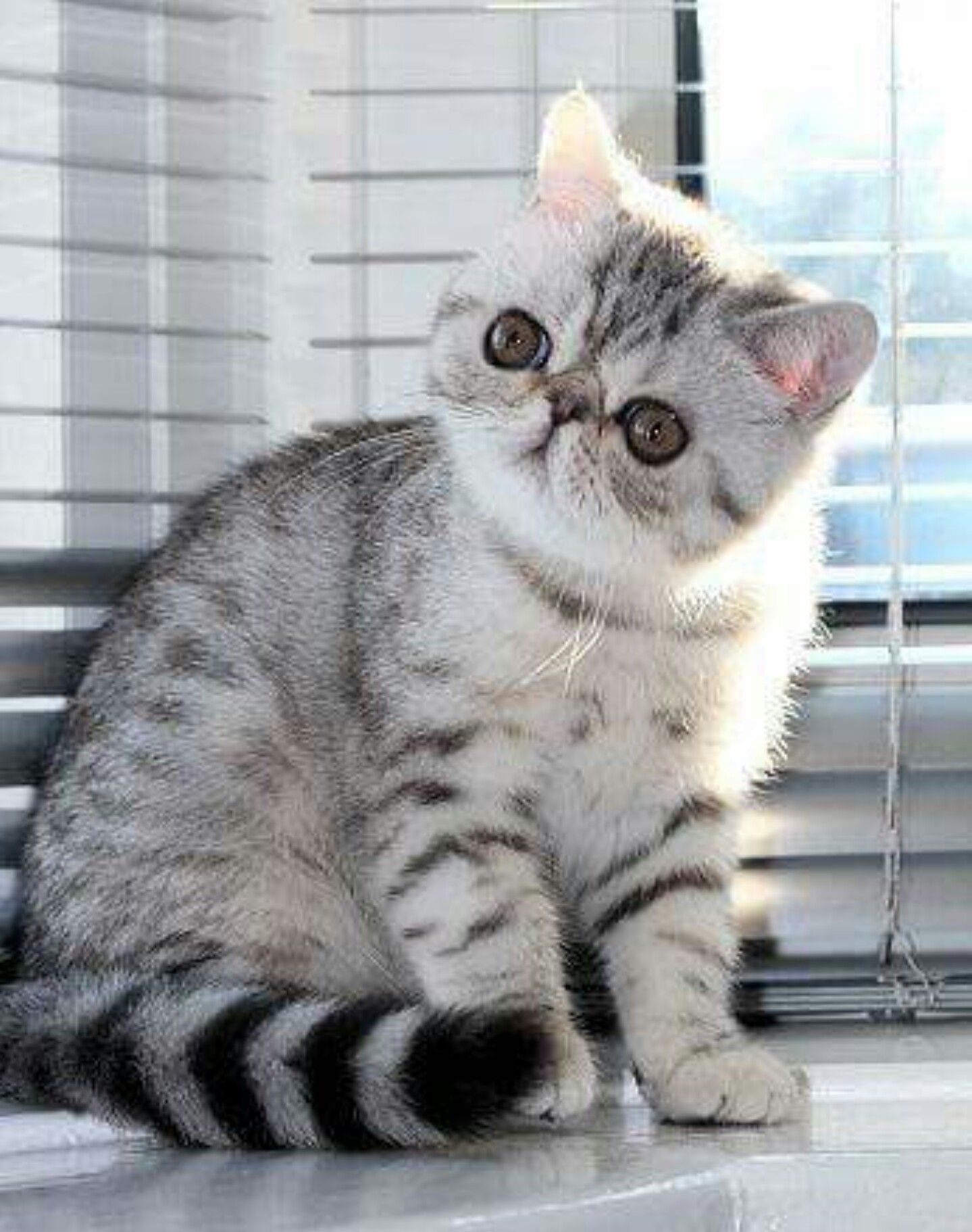 Pin On Exotic Shorthair Kittens