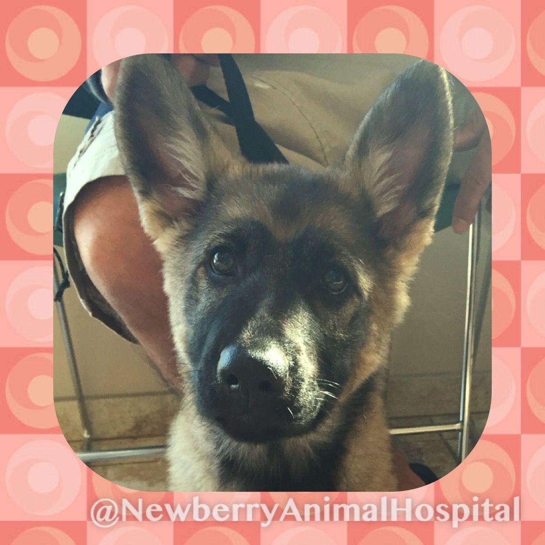 Nia the german shepherd pup with images german