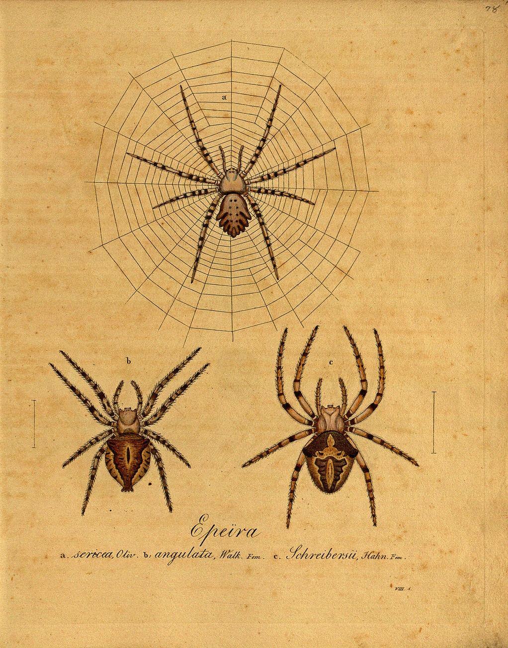 spider | Scientific Illustration | Pinterest | Spider, Illustrations ...