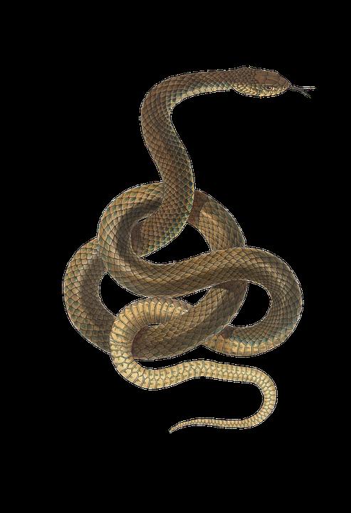 Kostenloses Bild Auf Pixabay Schlange Reptil Tier Jahrgang Schlange Zeichnung Schlangenmuster Reptilien
