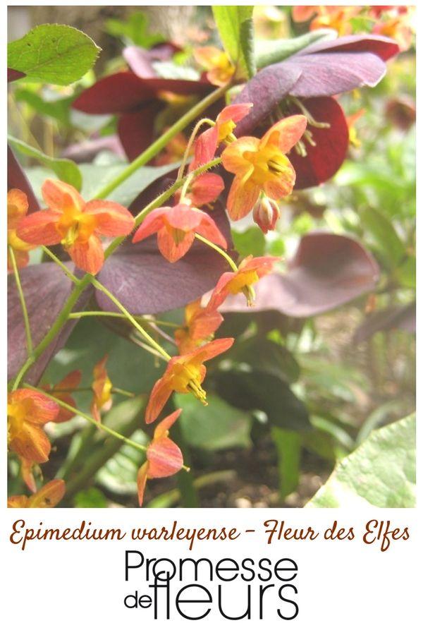 Charmante plante vivace au feuillage persistant portant, au ...
