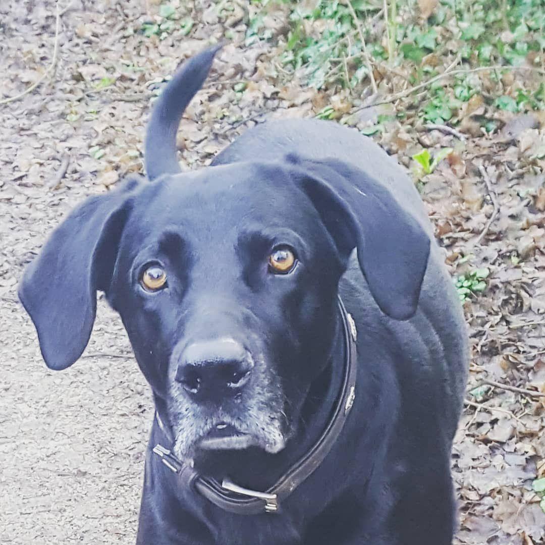 Grusse Von Der Morgenrunde X1f436 X1f43e Heute Bin Ich Wieder Das Erste Mal Mit Johnny Unterwegs Wenn Herrchen Frei Hat Ge Labrador Dogs Animals