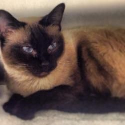 Adopt Hope Fh On Cats Siamese Cats Animals