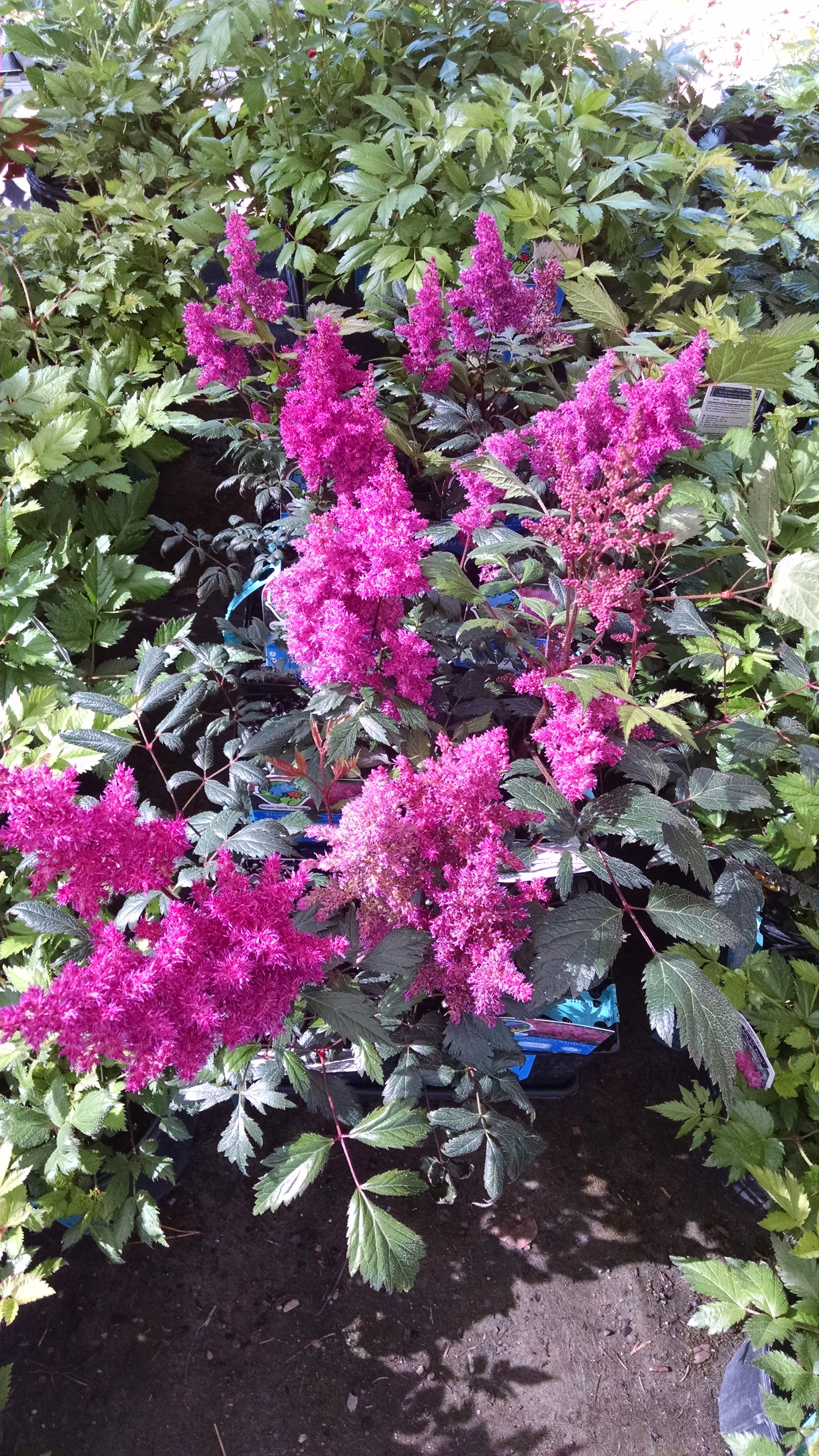 Astilbe Visions This Zone 4 Perennial Is A Great Mid Layer For