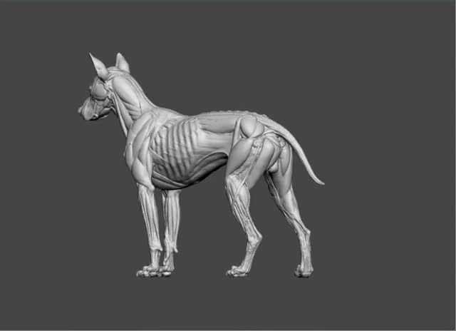 canine anatomy sculpt by s d lord biceps femoris trapezius and latissimus dorsi removed