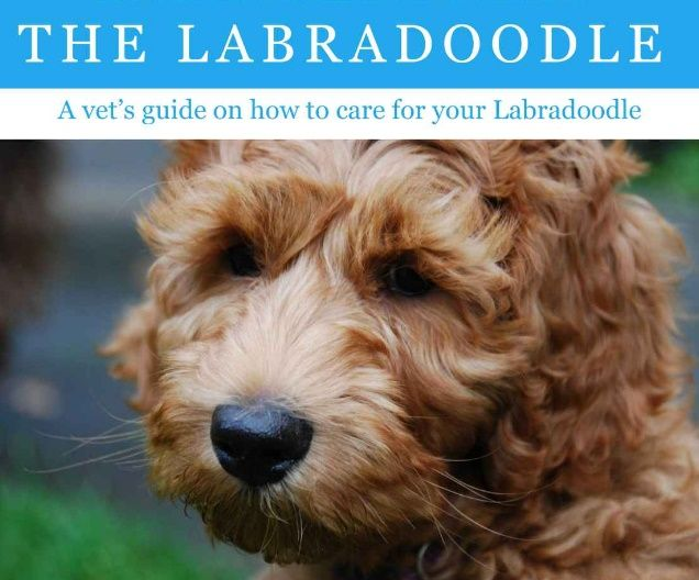 The Labradoodle A Vet S Guide On How To Care For Your Labradoodle Labradoodle Labradoodle Puppy Labradoodle Funny