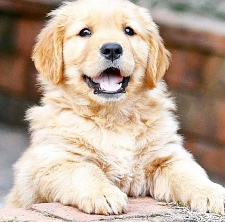Картинки щенки золотистый ретривер