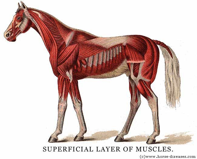 A Site On The Anatomy Of A Horse Skeleton Circulatory Muscle Etc